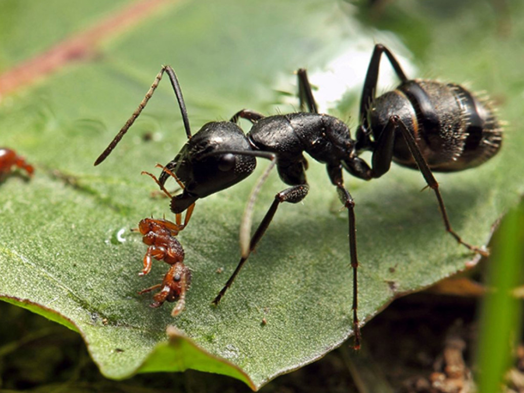 giant black ants - HD 1600×1067